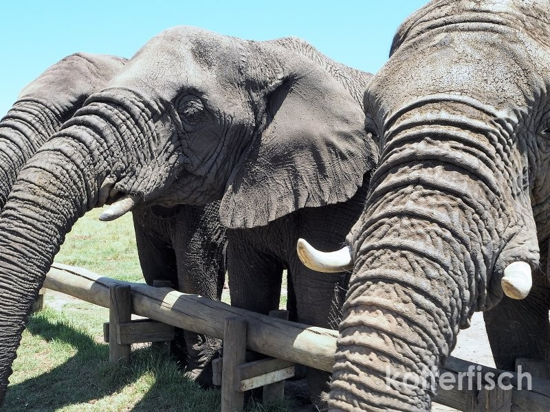 THE ELEPHANT SANCTUARY PLETTENBERG BAY – ZUFLUCHTSORT FÜR ELEFANTEN